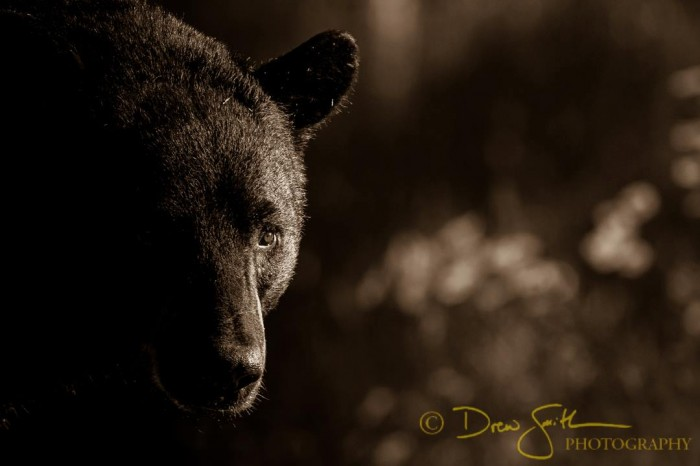 Black Bear_DSP