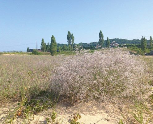 Full-sized baby's breath growing on Elberta Beach. Photo by Emily Cook.