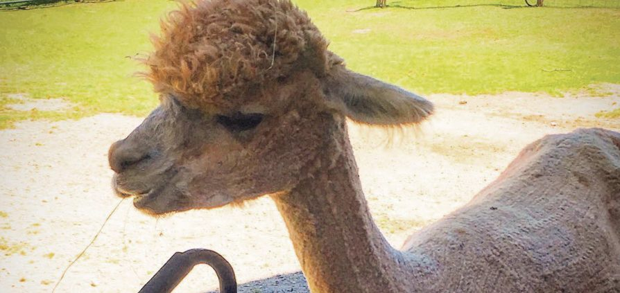 Crystal Lake Alpaca Farm Crystal Lake Alpaca Boutique Frankfort MIchigan Benzie County kids activities children's activities Nicole Bates The Betsie Current
