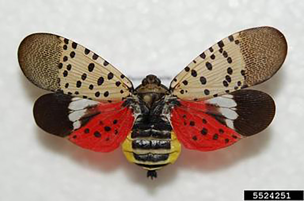 Spotted lanternfly Lycorma delicatula Northwest Michigan Invasive Species Network ISN The Betsie Current newspaper Benzie County Tree of Heaven Ailanthus altissima