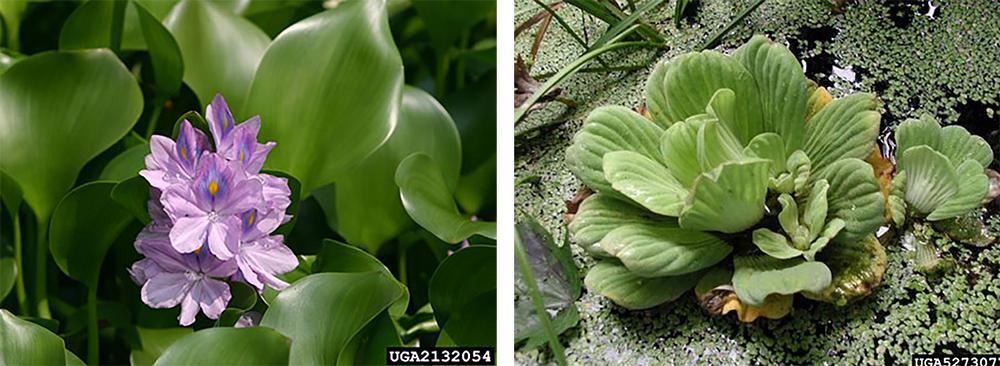 Water hyacinth Eichhornia crassipes Water lettuce Pistia stratiotes Northwest Michigan Invasive Species Network ISN The Betsie Current newspaper